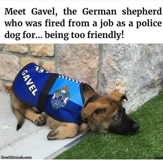 Gavel is a German shepherd who got fired as police dog
