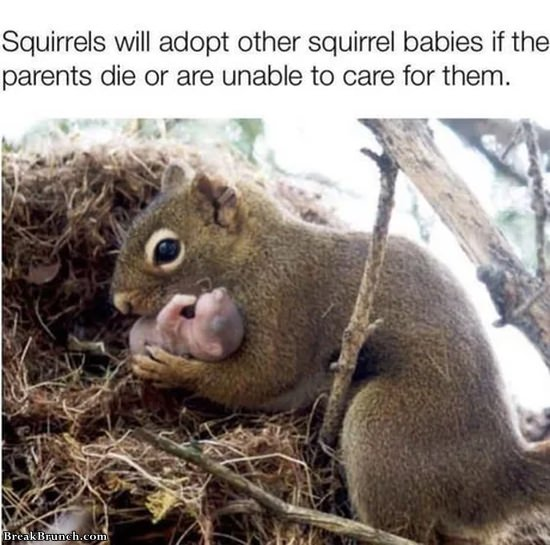 Good guy squirrel adopting other squirrel babies