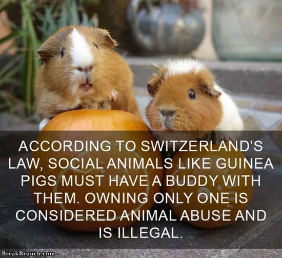 Having only one social animal is illegal in Switzerland