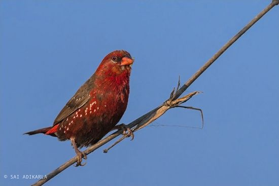 25 beautiful pictures of bird called Strawberry Finch