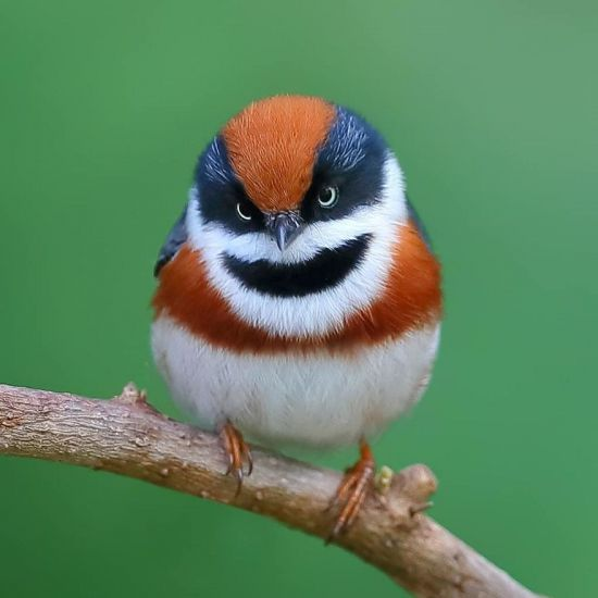 This beautiful bird is called Black Throated Bushtit (13 photos)